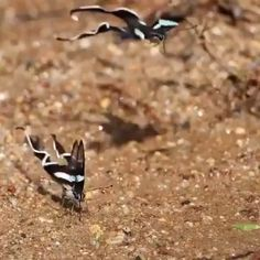 Green Dragontail butterflies (Lamproptera meges) – Footage by Kazuo Unno – Animals Beautiful Bugs, Beautiful Butterflies, Amazing Nature, Funny Animal Videos, Cute Funny Animals, Cute Baby Animals, Nature Animals, Animals And Pets, Beautiful Creatures