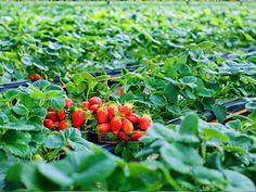 Dâu tây Đà Lạt, vào vườn tự tay chọn dâu thì khó mà kiềm lòng không cầm mấy quả mọng đỏ cứ thế cắn để cảm nhận vị chua chua ngọt ngọt, thơm thơm lan tỏa và thú vị khi thấy hạt dâu lạo xạo rất thực trong khoang miệng. Ngoài ra, mứt dâu tây nước, dâu tây sấy, mứt dâu tây khô, dâu tây sữa…