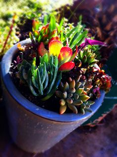 DIY: Potted Mixed Succulent Garden by Sanctuary-Studio Succulents In Containers, Cacti And Succulents, Potted Plants, Succulent Gardening, Garden Planters, Cactus, Desert Plants, Dream Garden, Garden Landscaping
