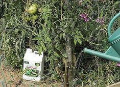 Apport de purin d'ortie au pied des tomates – F. Marre - Rustica
