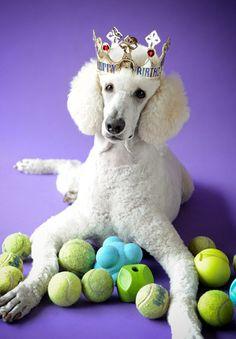 Our standard poodle James