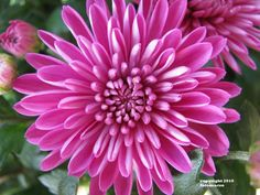 Chrysanthemum ~if i Add The Birth Flowers to My Motherhood Tattoo, This Would Be November's (Mary) Birth Flower. The Chrysanthemum~