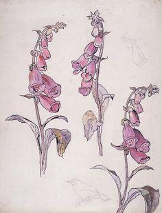 Foxglove by Beatrix Potter