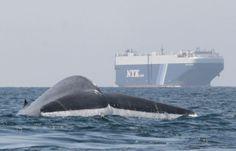 Innovador rastreador de ballenas azules evita que choquen contra los barcos