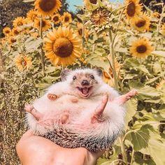 Baby Animalsさん(@babyanimalsco) • Instagram写真と動画 Baby Animals Super Cute, Cute Little Animals, Cute Funny Animals, Hedgehog Pet, Cute Hedgehog, Happy Hedgehog, Baby Animals Pictures, Cute Animal Pictures, Happy Animals
