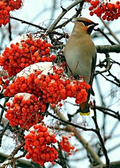 Winter - Bohemian Waxwing on snowy Mountain Ash berries.
