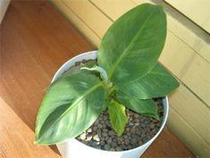 R sultat de recherche d 39 images pour plante avec plumeau rose a balcony garden pinterest - Entretien d un bananier ...