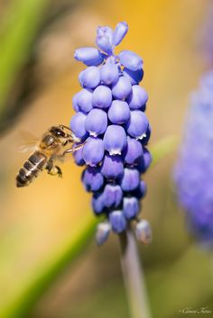 Abeille, Bee by Clement THERIEZ on 500px
