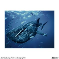 Australia. #NationalGeographic #StunningPictures #Postcards #GreatPostcards #whaleshark #ocean #whales