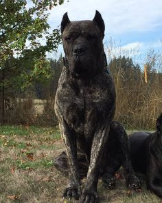 Tap on and share with your friends! Cão Cane Corso, Chien Cane Corso, Cane Corso Dog Breed, Huge Dogs, Giant Dogs, Dog Emoji, Scary Dogs, Rome Antique, Mastiff Dogs