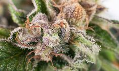 Find information about ocimene, terpinolene, and guaiol – three terpenes found in cannabis strains – as well as some of their potential medical benefits.