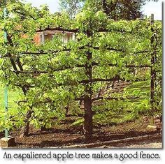 Espaliered apple tree. Makes a great fence or partition to any garden.