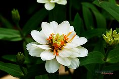 Zinnia hybrids are another carefree, tight growing annual. This white is beautiful against the rich green of the leaves.     Photo byTukang Kebun
