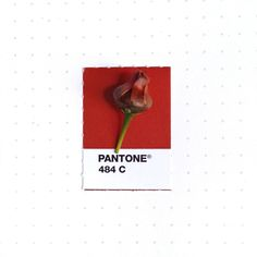 Pantone 484 color match. The fruit of Golden Tickseed wild flower (Coreopsis).