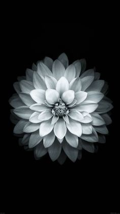 papers.co-ad41-apple-white-lotus-iphone6-plus-ios8-flower-33-iphone6-wallpaper
