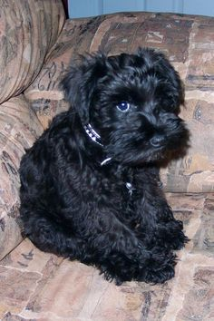 Ma petite Becky she is so sweet and darling!! little mini Schnauzer puppy