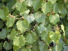 Vitis spp Wild Grape