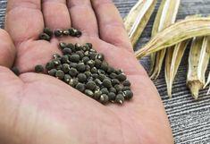 Bamya bitkisi yeşil çiçekleri olan bir bitkidir. Bamya, insan vücuduna faydalı olduğundan dolayı eski tarihlerden bu yana tercih edilen bitkiler arasında y