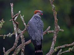 Topknot Pigeon (Lopholaimus antarcticus)   - Yahoo Image Search