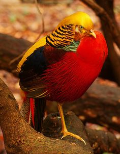 Amazing colors! The 30 Fattest Birds On The Planet