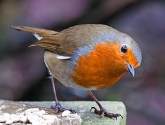 Robin (Erithacus rubecula) Little Birds, Love Birds, Beautiful Birds, All Birds, Pretty Birds, Animals Beautiful, Bird Pictures, Robin Pictures, European Robin