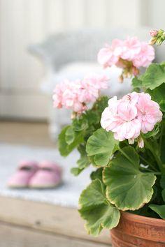 "My ""Hand Off"" is a Pink Geranium Cottage ~ Geraniums Garden, Red Geraniums, Pink Peonies, Pink Roses, Pink Flowers, Watermelon Plant, Pink Geranium, Pink Garden, House Plants"