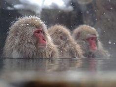 Snow Monkey soaking in a hot spring in Jigokudani Park in Nagano