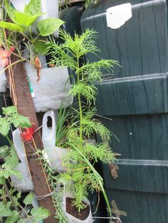 These are the flower seeds I planted in milk bottles on the vertical support, and they are doing well. End sept 2014