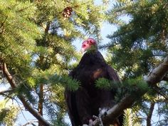 Turkey Vulture at Maple Bay - from the Images of Victoria Collection
