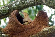 pássaro brasileiro João -de- barro