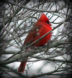 Cardinal - Beautiful! But so annoying! One sits outside my window in the morning and won't shut up!