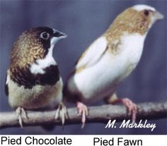 society finch - Google Search