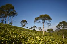 Tea Plantation With Some Trees