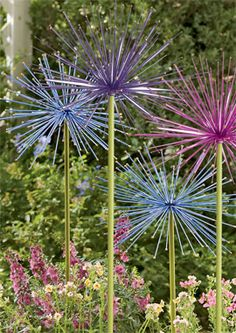 This link has some great information on how to grow Allium, or flowering onion.