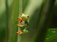 www.delunademiel.es Costa rica y su naturaleza pura e indomable nunca dejara de sorprendernos....Hoy con uno de sus animales mas distintivos. https://www.facebook.com/pages/Delunademieles/423811537699121?ref=hl