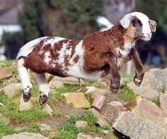 Sheep + Goat = Toast of Botswana