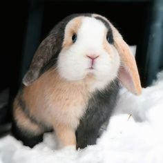 Sweet bunny in the snow, tri-colored lop, peach, grey, and white.