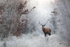 Deer in Winter Photo by Le Boulanger Nicolas -- National Geographic Your Shot