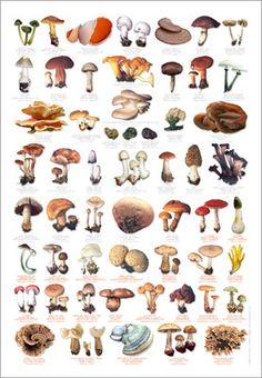 Fungi Identification Poster