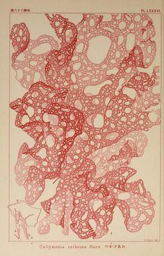 Plate LXXXVI. Callymenia cribrosa. Icones of Japanese algae. Vol. II. 1912  https://archive.org/stream/iconesofjapanese02okam#page/4/mode/thumb