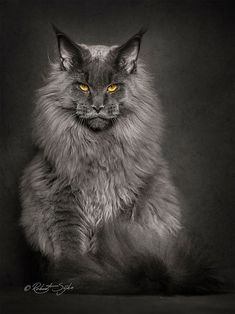Photographer Robert Sijka sheds new light on the Maine Coon, the largest breed of domesticated felines.
