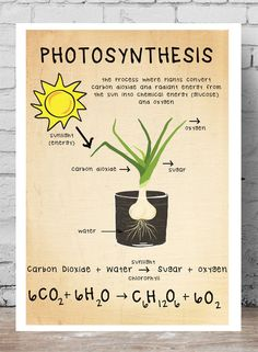 This biology print shows the process of photosynthesis via an image, a word equation and a chemical equation. Great for any classroom. Photosynthesis Activities, Photosynthesis Worksheet, Photosynthesis And Cellular Respiration, Biology Classroom Decorations, Science Classroom, Plant Science, Life Science, Science Daily, Science Memes