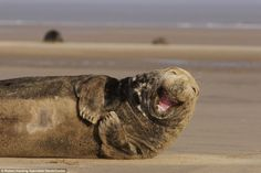 Smiling seal: This adult male grey seal (Halichoerus grypus) laughing <3