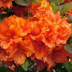 DWARF EVERGREEN AZALEA GEISHA ORANGE THIS IS A YOUNG PLANT SUPPLIED IN A 9CM POT IT IS APPROX 10-20cms HIGH WHEN SUPPLIED IT GROWS TO APPROX 45-60CMS