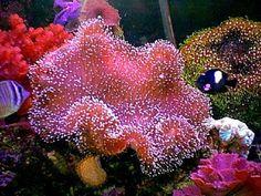 Pink Mushroom Leather Coral