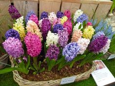 The blossoms of hyacinth bloom in spring and require full sun and slight shade for better results. An annual application of compost is vital for these aromatic flowers.