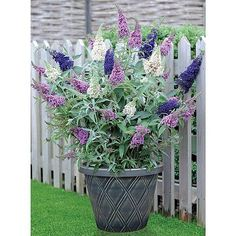 Buddleja 'Buzz® 3 in - Shrubs - Thompson & Morgan Butterfly Bush Butterfly Bush, Plants, Container Plants, Hardy Plants, Garden Shrubs, Clematis Plants, Scent Garden, Evergreen Plants, Shrubs