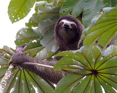 Sloths do live 99% in the trees. They even have sex hanging in the trees!