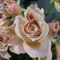 """""""本日の薔薇""""  ^^  いおり[ Iori]  日本 Rose Farm keiji 作 2011年   アンティーク感のあるカフェオレ色の可愛らしいお花。秋になると色や形に深みがまして、とてもあたたかな雰囲気につつまれ、心から癒されます。花はふんわりとしたカップ咲き。ふんわり広がる生育で、ブーケのようにこぼれるように咲きます。たぶん、ベージュ色のバラでは一番花つきがよいと思います。庭植え、コンテナ植えに最適で、とても育てやすいです。人気品種「あおい」の枝変わり。いちおし!  花径:5cm 樹高:0.6~0.8m 花季:四季咲 その他:微香⇒ほのかに香るバラです   ❁~❁~❁ 12月~2月は バラの""""秋大苗""""の定植適期です ❁~❁~❁   オールドローズから人気のモダンローズ、F&Gローズまで「日本のバラのパイオニア京阪園芸」の特選秋大苗が、こちらサイトでお買い求め頂けます!  ⇒ http://www.keihan-engei-gardeners.com/fs/keihangn/c/akinae"""