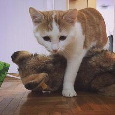 Stronger than this dog.  #charliethecat #love #cute #catsofsalzburg #salzburg #austria #cat #thiscat #ilovemypet #catlovers #lovekittens #instapet #catsagram #kitten #kitty #catstagram #kittycat #catsofinstagram #ilovemycat #catlove #catoftheday #furry #cats_of_instagram #cats #catlife #katze #katzenliebe #süssekatze #caturday